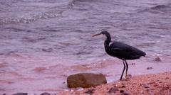 Bird of prey on the shore  Stock Footage