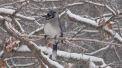 Blue jay in the snow - stock footage