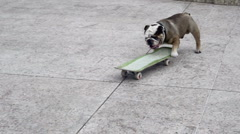 Dog on the skateboard. - stock footage