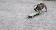 Stock Video Footage of Dog on the skateboard.