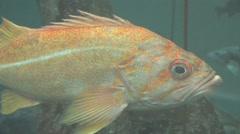 Stock Video Footage of Large Orange Fish Swimming