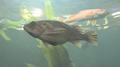 Large Fish Swimming Slowly - stock footage