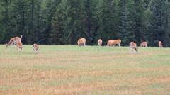 Herd of deer in autumn Stock Footage