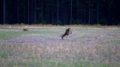 Buck deer in autumn Stock Footage