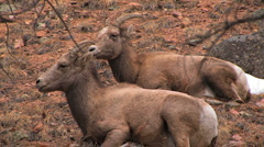 Bighorn sheep in Estes Park, Colorado Stock Footage