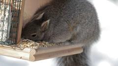 Grey Squirrel up close Stock Footage