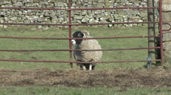 Sheep walks to gate near Reeth, Swaledale. Stock Footage