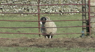 Stock Video Footage of Sheep walks to gate near Reeth, Swaledale.