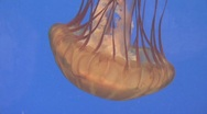 Stock Video Footage of Brown Jelly Fish