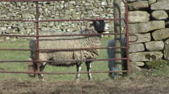 Sheep stands side on at gate near Reeth, Swaledale. Stock Footage