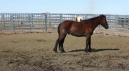 Stock Video Footage of Mustang Horses after roundup corral P HD 8879