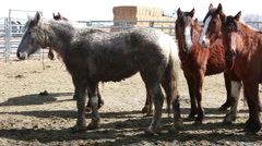 Mustang horses after roundup P HD 8871 Stock Footage