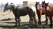 Stock Video Footage of Mustang horses after roundup P HD 8871