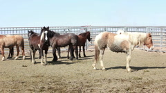 Mustang horses wild in corral P HD 8881 Stock Footage