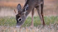 Stock Video Footage of Deer in autumn