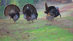 Wild Turkey Gobblers Stock Footage