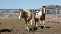 Wild Mustang horses in corral P HD 8877 Stock Footage
