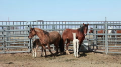 Wild Mustang horses mare colts P HD 8859 Stock Footage