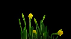 Time-lapse of opening yellow narcissus flower 3b (DCI-2K) Stock Footage
