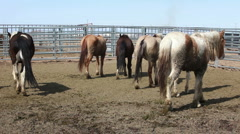 Wild Mustang horses walking corral P HD 8879 Stock Footage