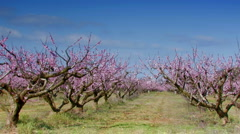 Driving by peach orchard in bloom Stock Footage
