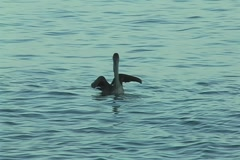 Pelicans Stock Footage