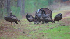 Wild Turkey Courtship Stock Footage