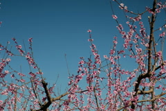 Spring Peach blossoms against blue sky Stock Footage