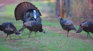 Stock Video Footage of Wild Turkey Strutting