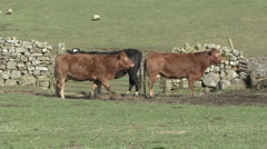 Cattle near gate in dry stone wall near Reeth, Swaledale. Stock Footage
