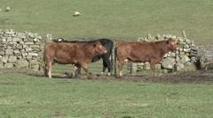 Cattle near gate in dry stone wall near Reeth, Swaledale. - stock footage
