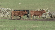 Stock Video Footage of Cattle near gate in dry stone wall near Reeth, Swaledale.