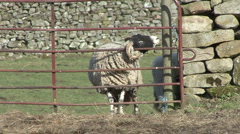Sheep stands at gate near Reeth, Swaledale. Stock Footage