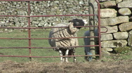Stock Video Footage of Sheep stands at gate near Reeth, Swaledale.