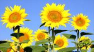 Stock Video Footage of Beautiful Sunflowers