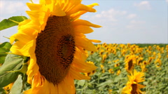 Sunflowers and Bees Stock Footage