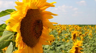Stock Video Footage of Sunflowers and Bees