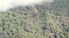 Rainforest covered cliffs with purple Melastomataceae tree in flower Stock Footage