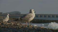 Sea gulls next to the sea Stock Footage