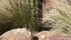 Saguaro Stock Footage
