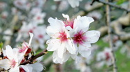 Stock Video Footage of Blossoming almond flowers in springtime