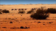 Camels Stock Footage