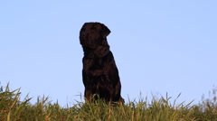 Dog breed Labrador retriever sits on grass - stock footage