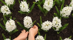 Woman's hands gently corrected leaves of hyacinth flowers Stock Footage