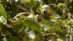 Orange-winged Parrot (Amazona amazonica) Stock Footage
