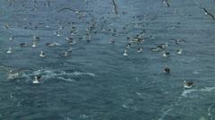 Salvin's albatross Stock Footage
