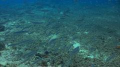 School of fish: needle fish Stock Footage
