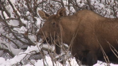 Moose cow close 1 Stock Footage
