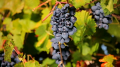 Bunches of black grapes Stock Footage