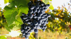 Black grapes Stock Footage